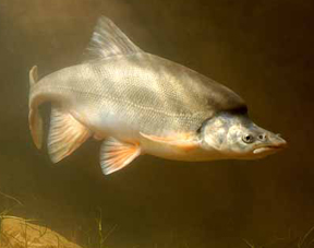 Humpback chub. Photo by Randall D. Babb.
